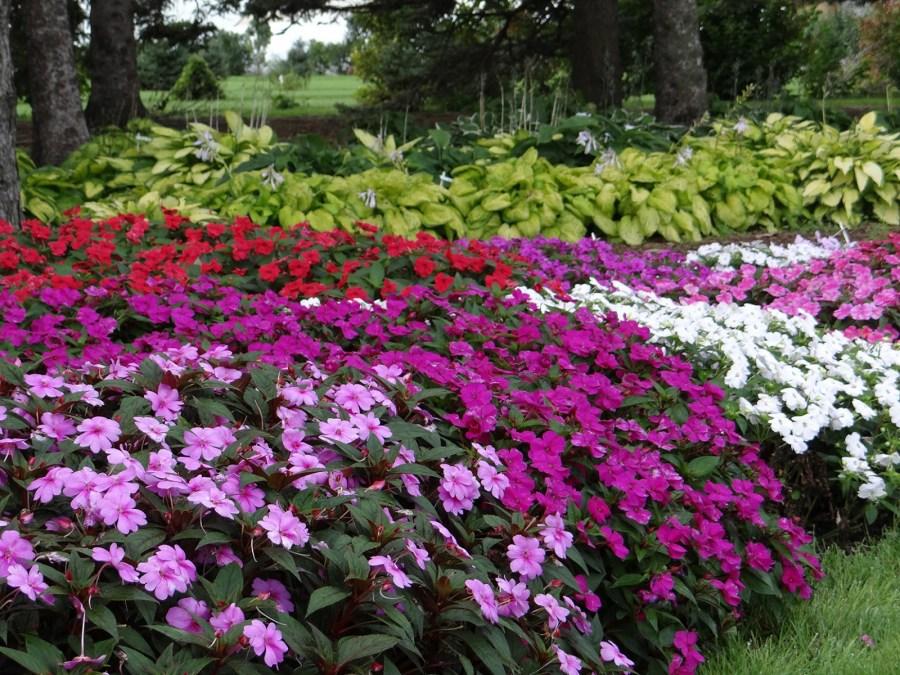 Неприхотливые однолетники без рассады цветущие все лето 40