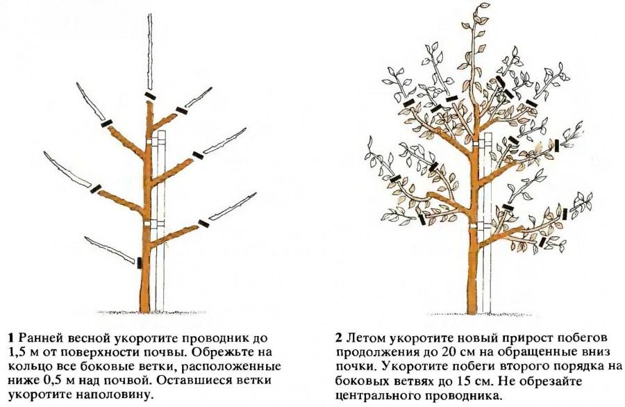 Схема обрезки молодой яблони осенью