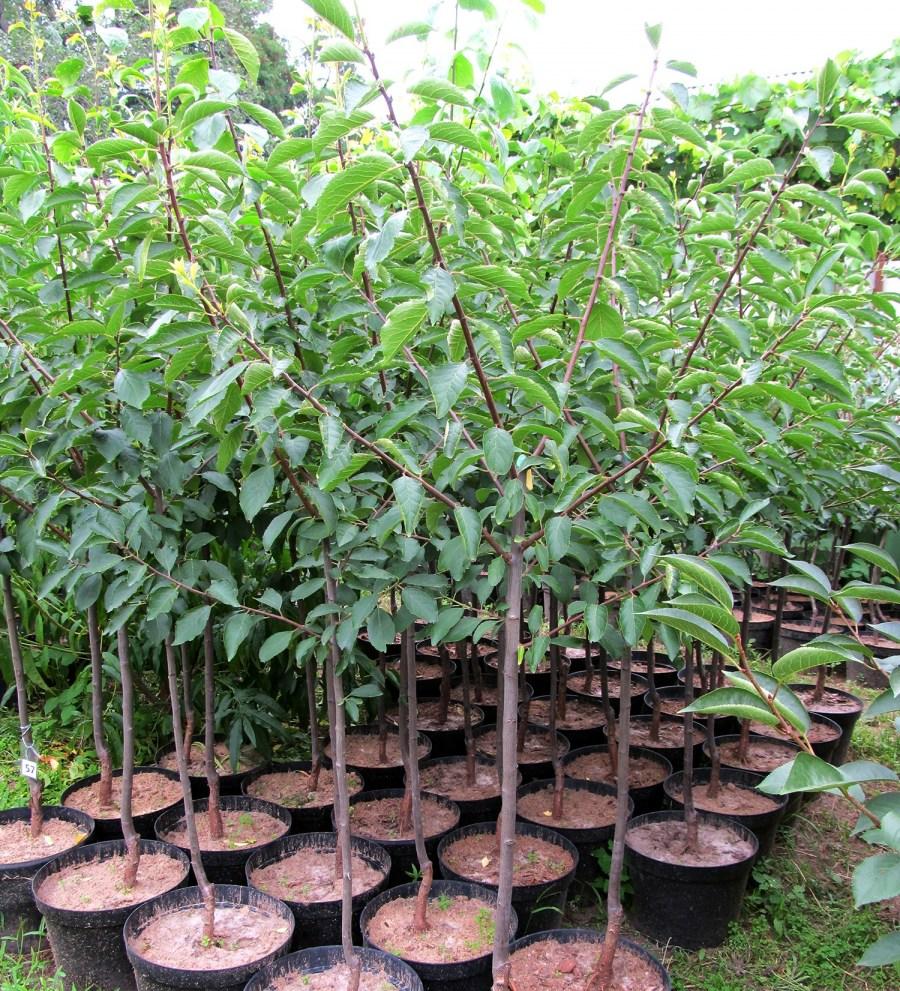 Интенсивное выращивание сливы 17