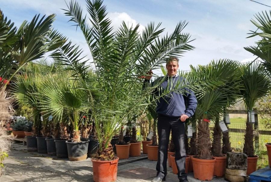Финиковая пальма выращивание из косточки 21