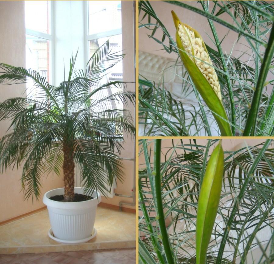 Цветок пальмой название и фото