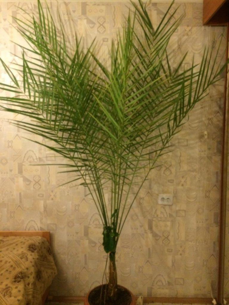 В какой горшок сажать финиковую пальму 40