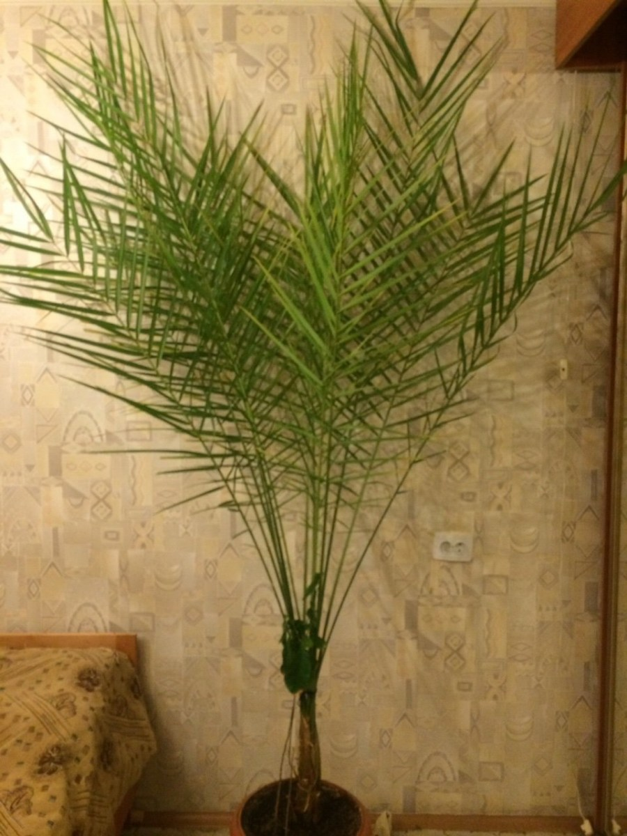 Пальма выращенная из финиковой косточки в домашних условиях 935