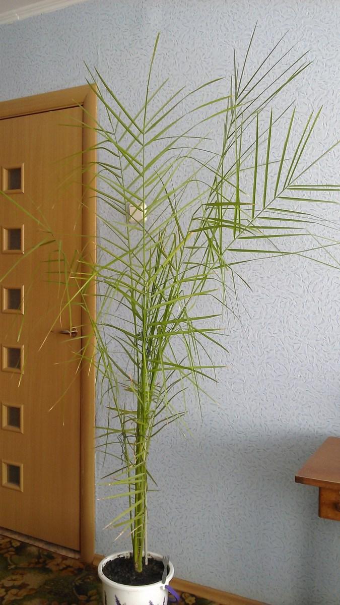 Пальма выращенная из финиковой косточки в домашних условиях 59