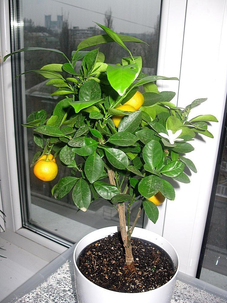 Выращивание мандарина в домашних условиях из косточки 25