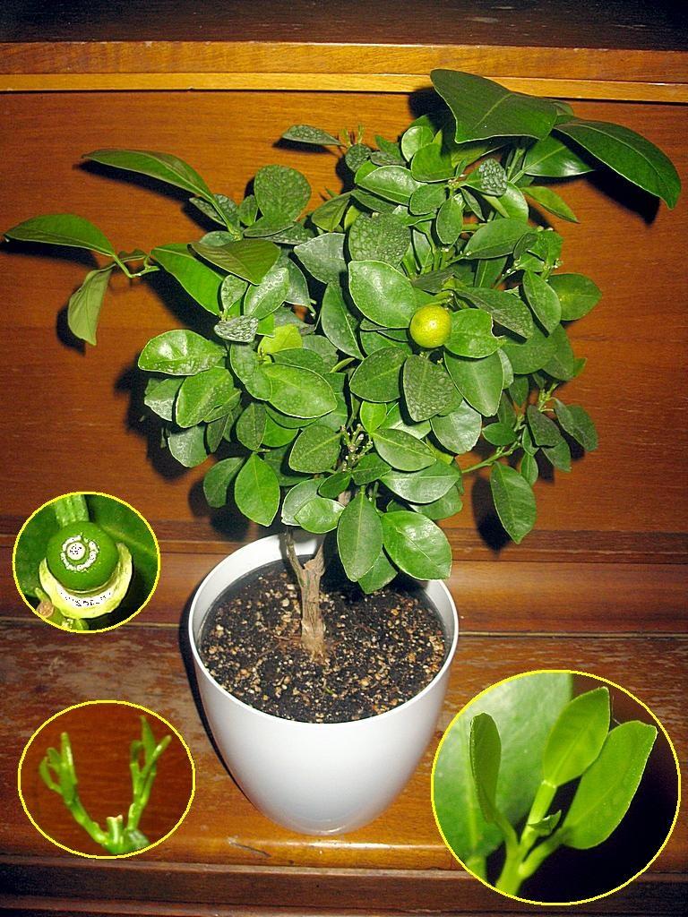 Выращивание апельсина в домашних условиях из косточки 820