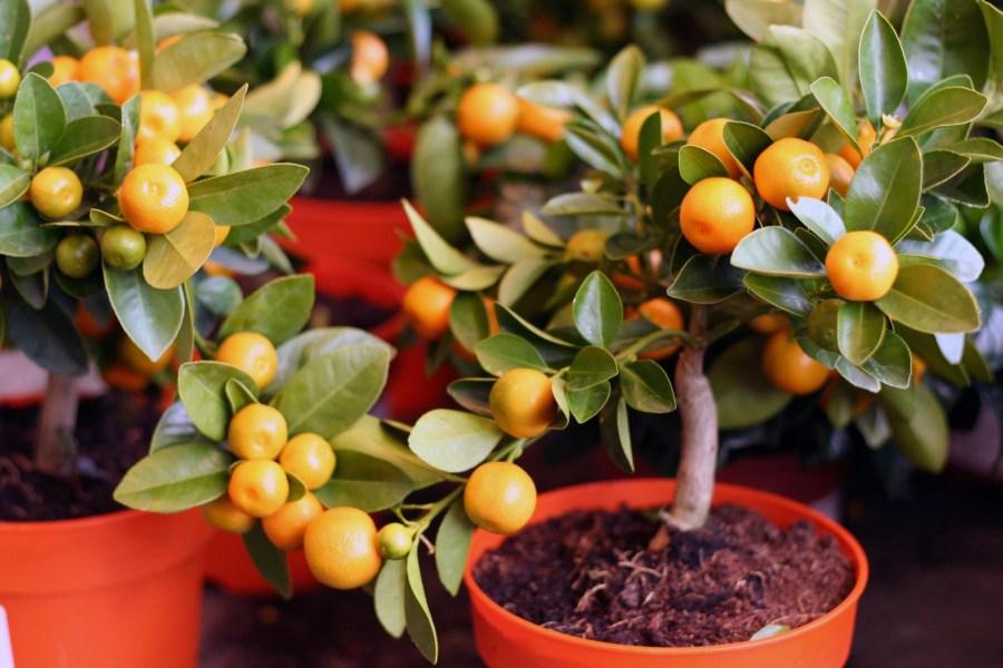 Картинки по запросу мандариновое дерево
