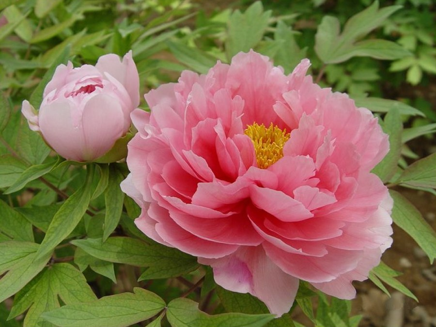 symbolism in the jade peony essay @example essays symbolism in the birthmark 4 pages 1058 words the birthmark how does hawthorne in the birthmark use irony, ambiguity, paradox, and symbol ambiguity: two different interpretations can be used to describe georgiana's character.