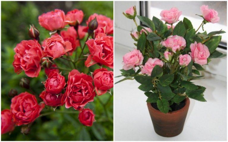 Полиантовые розы уход и выращивание 74