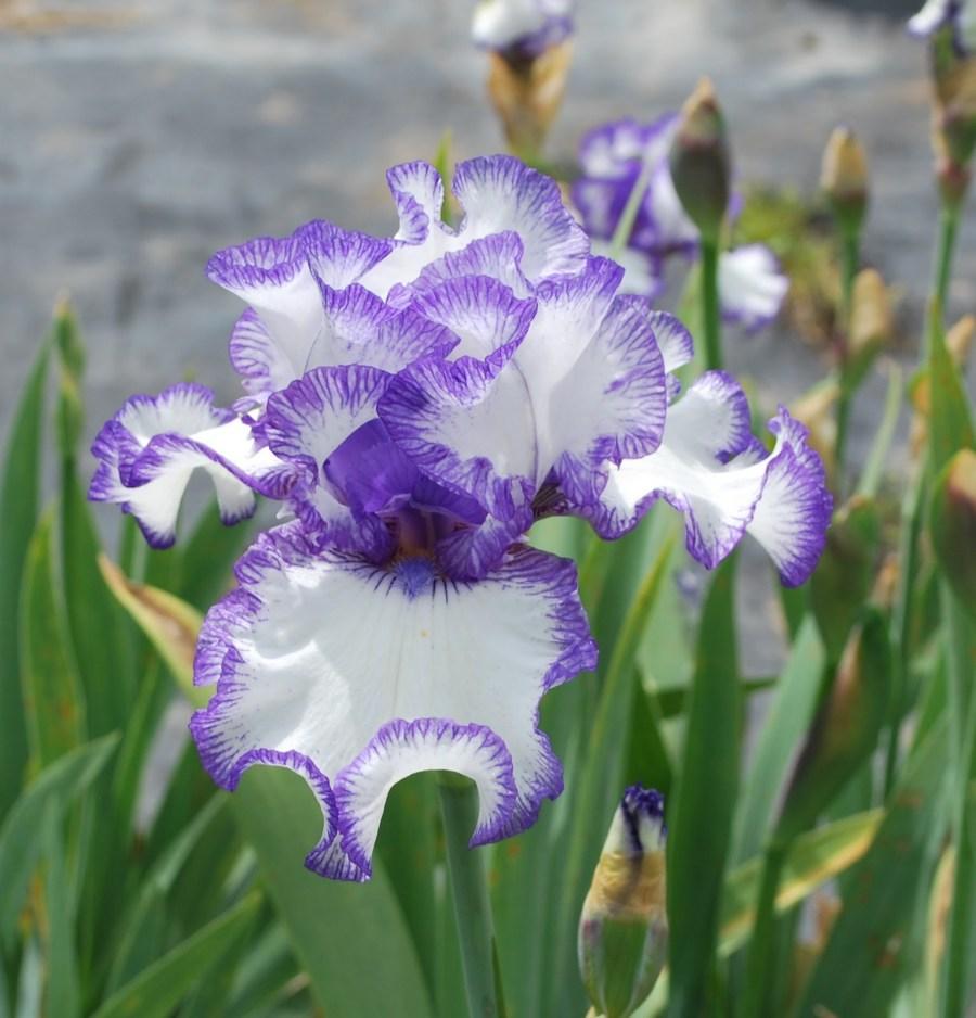 Фото и описание цветов ирис