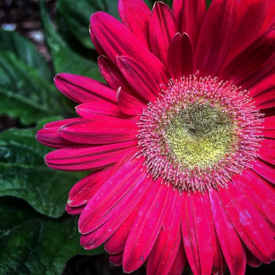 Что за цветок гербера фото
