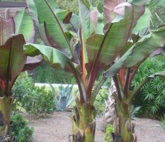 Можно ли выращивать бананы в домашних условиях?