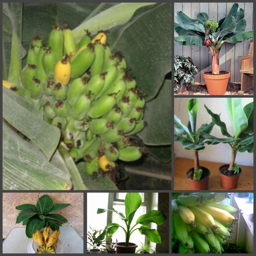 Как сажать банан декоративный 84