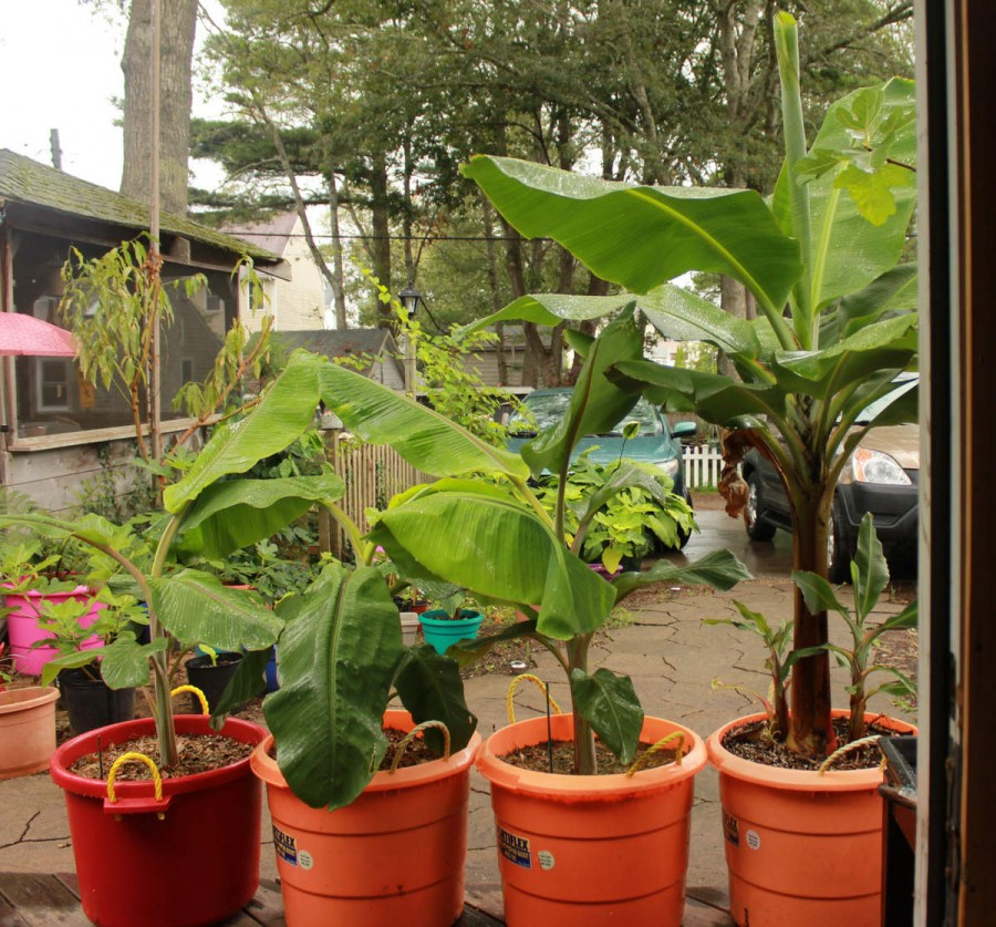 Банан выращивание в домашних условиях 829
