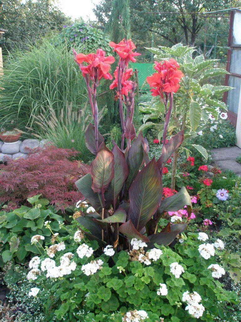 Высокорослый садовый цветок фото