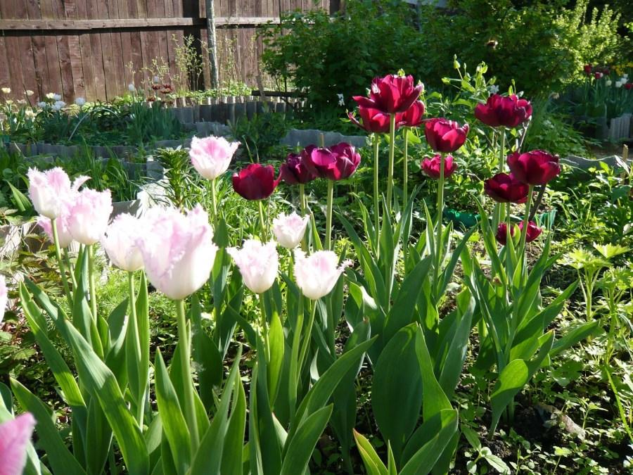Что можно сажать на клумбах после тюльпанов? - ответы экспертов 35