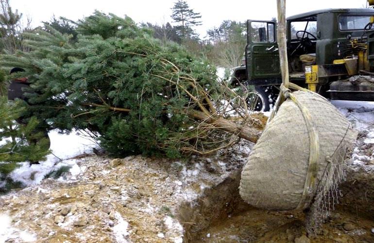 Посадка деревьев крупномеров: почему это не стоит делать самостоятельно