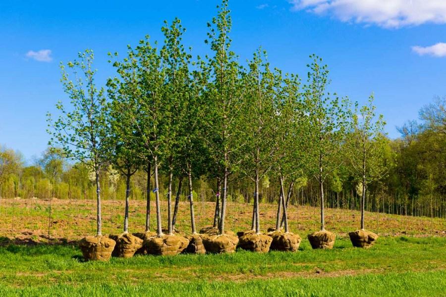 как правильно сажать деревья осенью