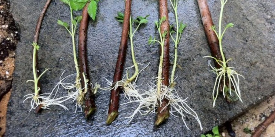 размножение черной смородины корешками