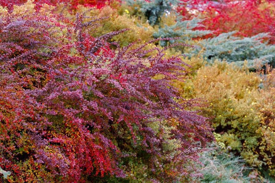 Осенние кустарники для дизайна ландшафта