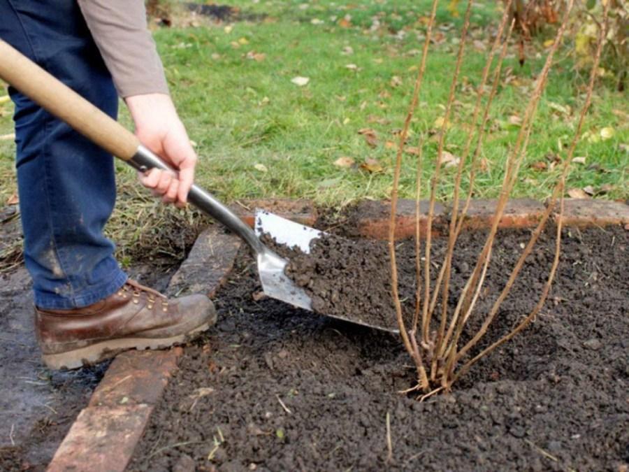 как рассадить смородину черенками