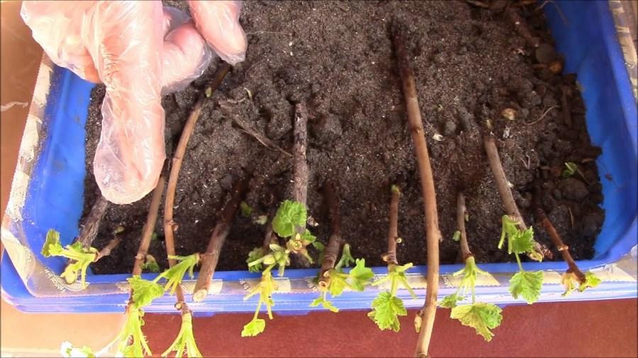 как рассадить черную смородину черенками
