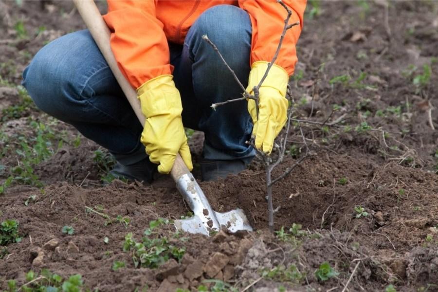 как посадить кустарники