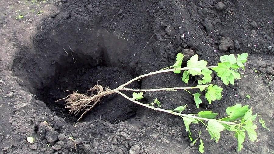выкопка ямы для пересадки черной смородины черенками