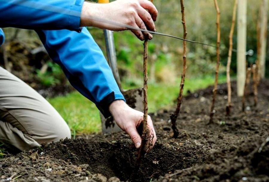 на каком расстоянии сажать кустарники