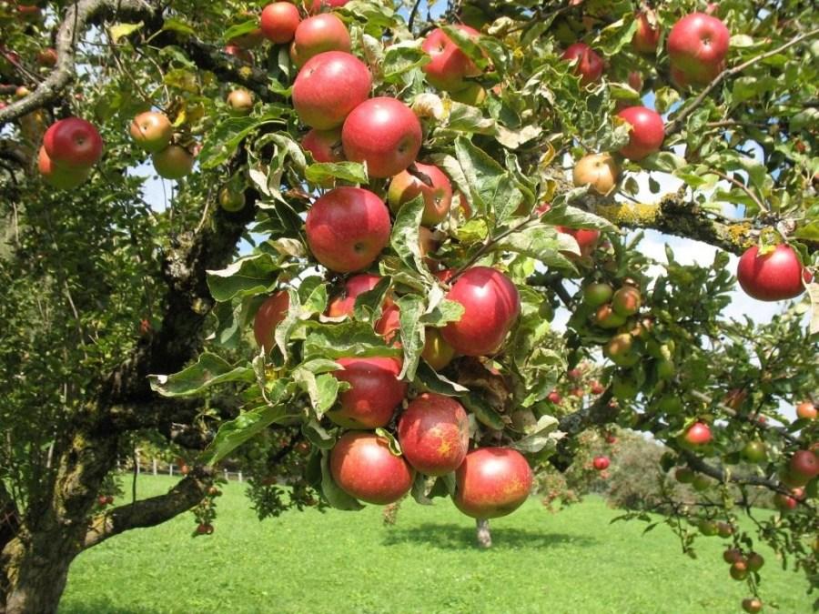 плодовые деревья пересадка